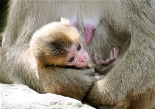 A newborn baby monkey named Charlotte clings to her mother at Takasakiyama Natural Zoological Garden in Oita, southern Japan Friday, May 8, 2015.  The monkey born in the Japanese zoo will keep its name Charlotte, after all.  Oita city officials settled a dayslong national debate over whether calling the monkey Charlotte offends its British royal namesake. The officials say they will stick to their first choice because there was no protest from Britain's royal family. (Kyodo News via AP)
