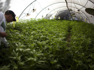 On the supply side, there will be many new marijuana growers and dispensaries in addition to those already involved in the medical marijuana industry (Photo: Courtesy Rastavapors.com)