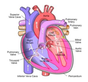 Heart failure is becoming more and more common. Nearly 6 million Americans are suffering from it today. That figure will grow to more than 8 million by 2030. Photo: Wikimedia Commons